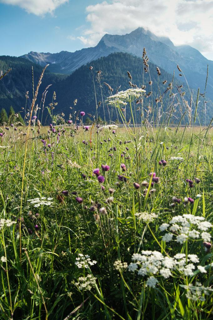 fiori-spontanei-di-prato-e-montagne-e-sullo-sfondo-a-sauris-di-sopra